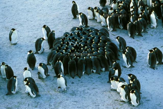 Emperor penguin (Aptenodytes forsteri)) chicks huddled together for warmth, Taylor Glacier, Antarctica